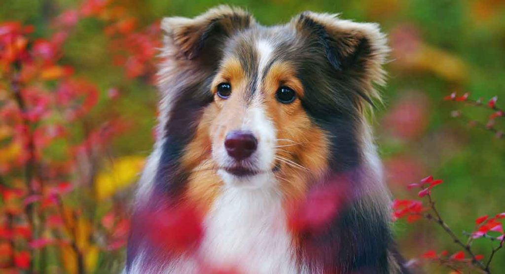 Where Shetland Sheepdogs Came From
