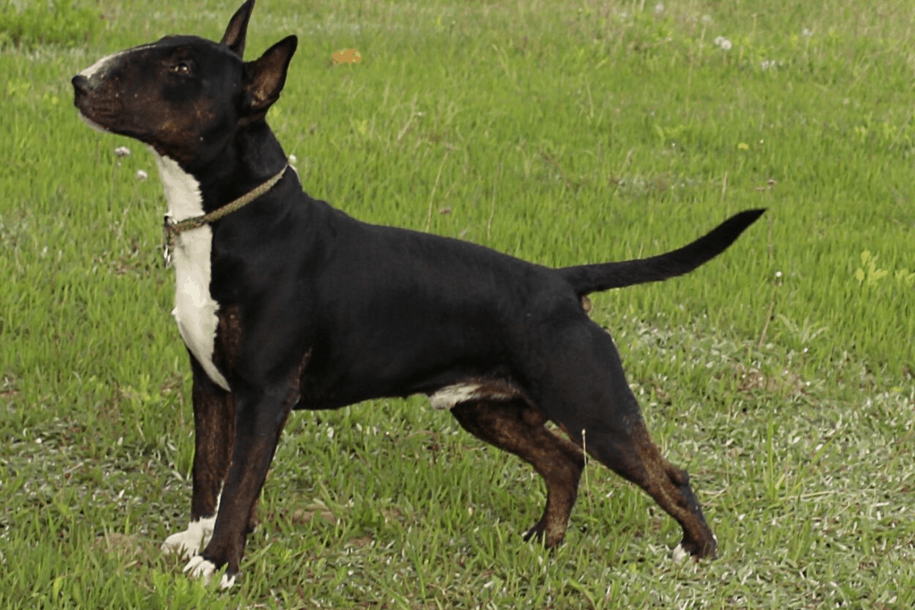 Black and White bull terrier