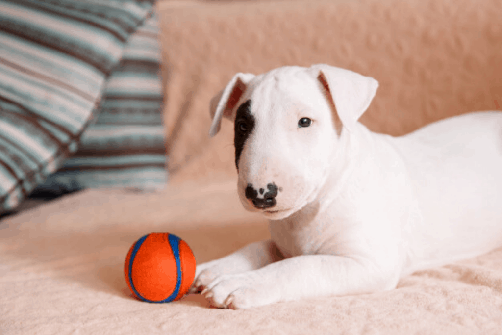 bull terrier and ball