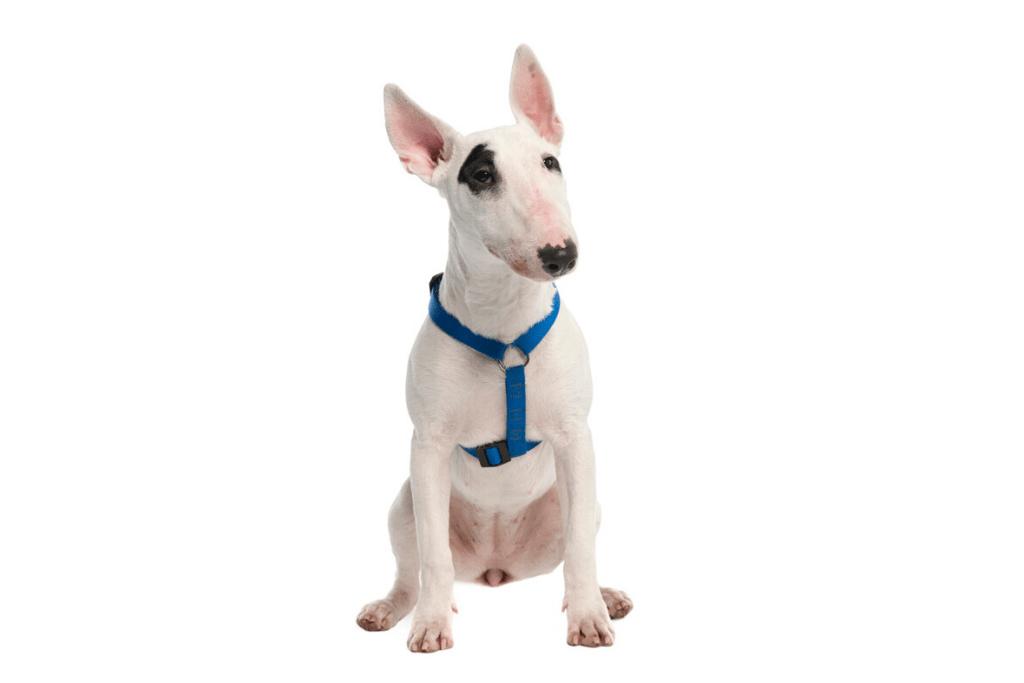 white bull terrier in white background1