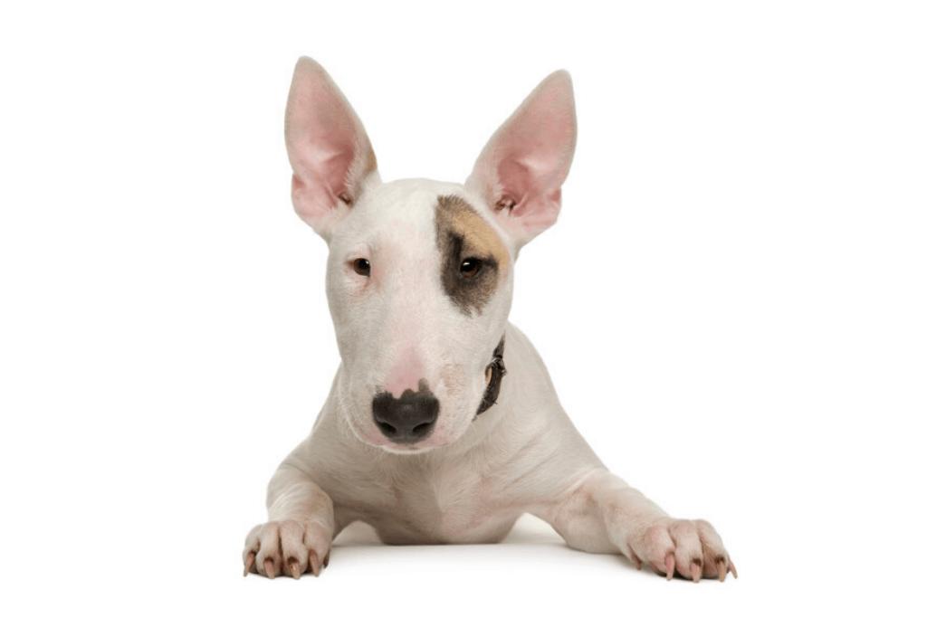 white bull terrier in white background4