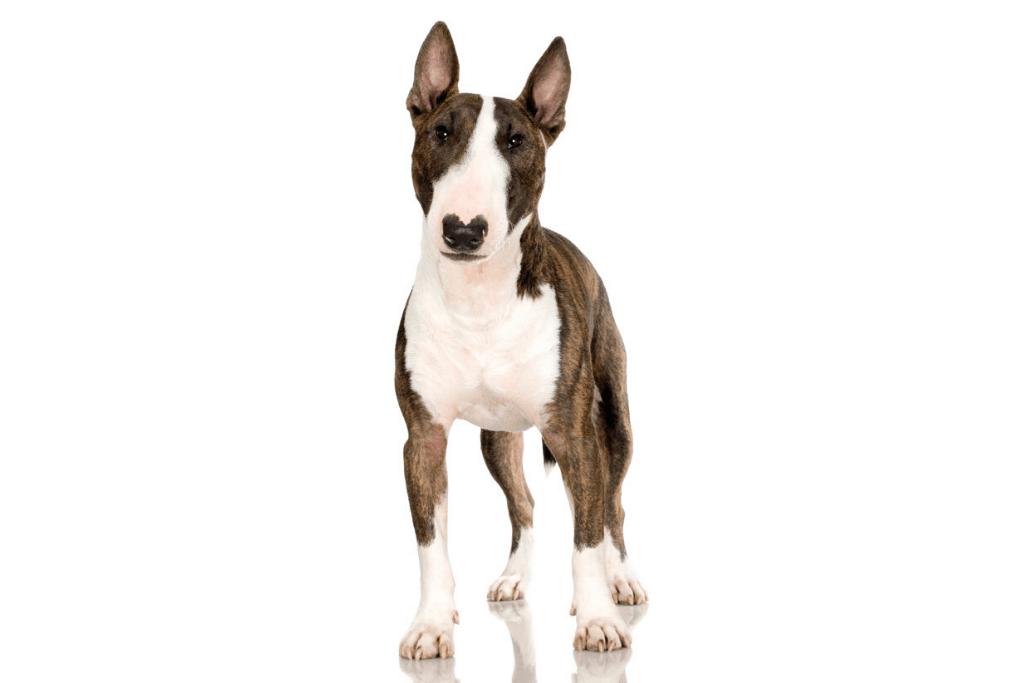 bull terrier in white background
