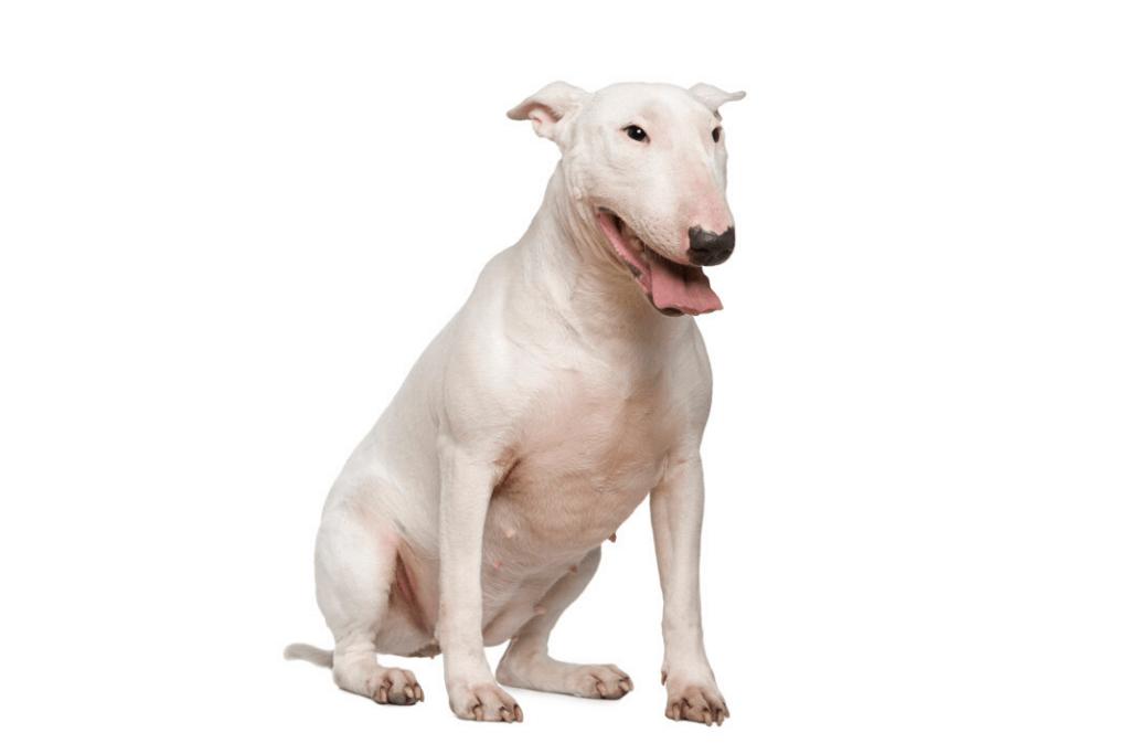 white bull terrier in white background5