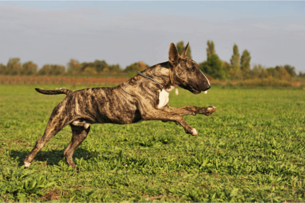 bull terrier in the garden