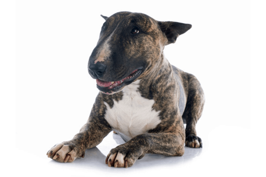 brindle-and-white bull terrier