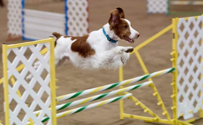 brittany spaniel training