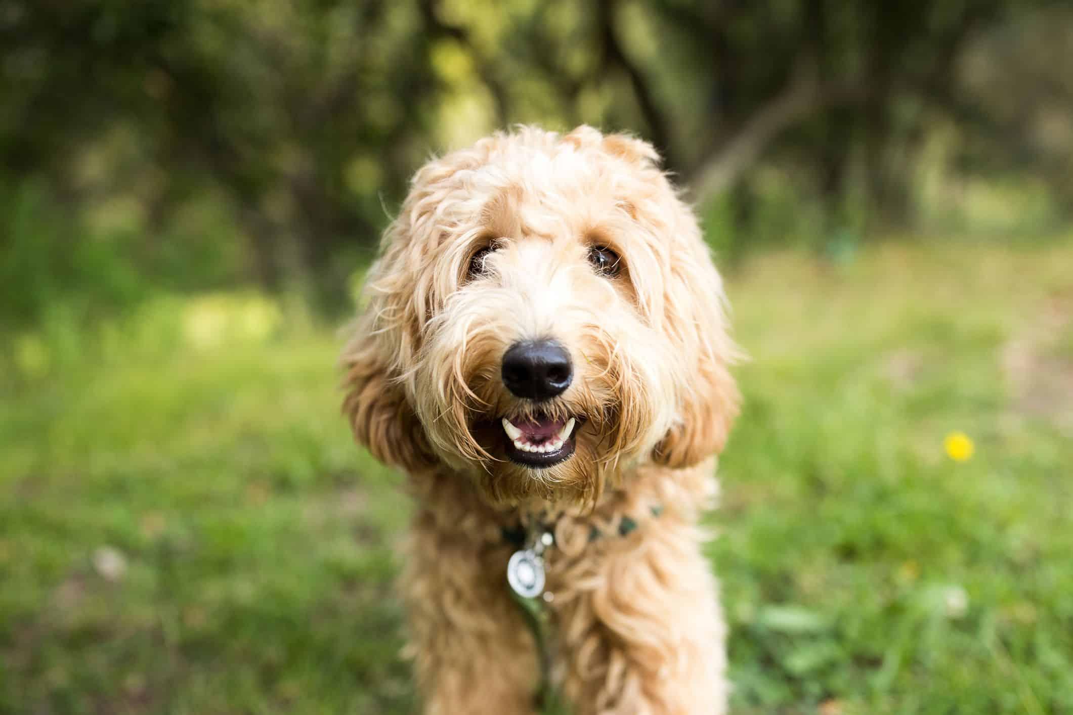 Top 20 Hypoallergenic Dog Breeds