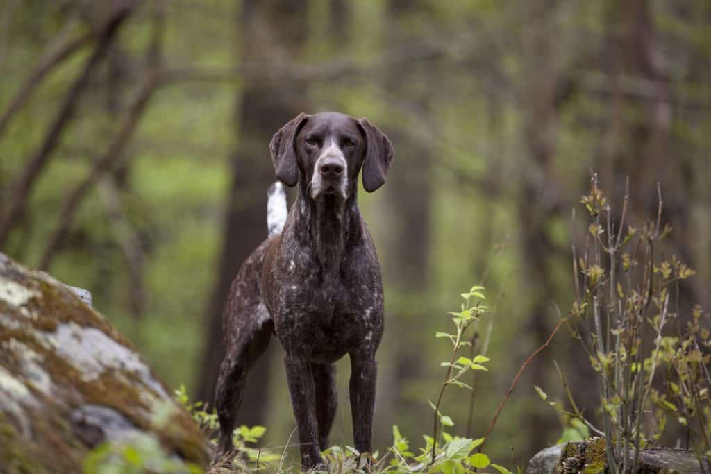 english pointer  size