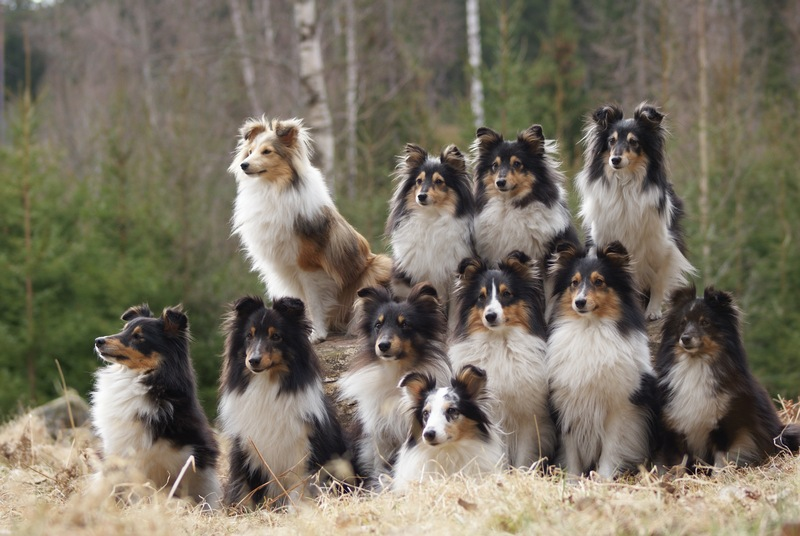 sheltie adults