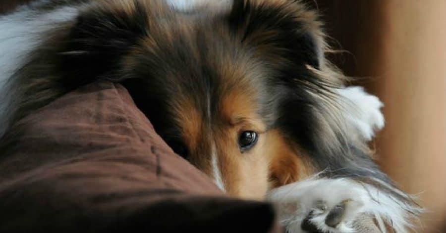 shetland sheepdog diseases