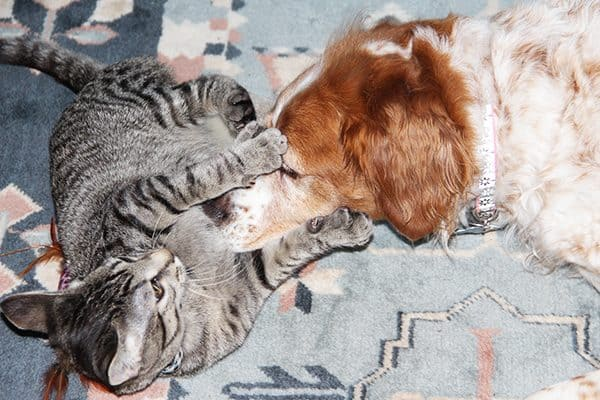 spaniel with cats