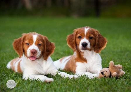 spaniel with dogs