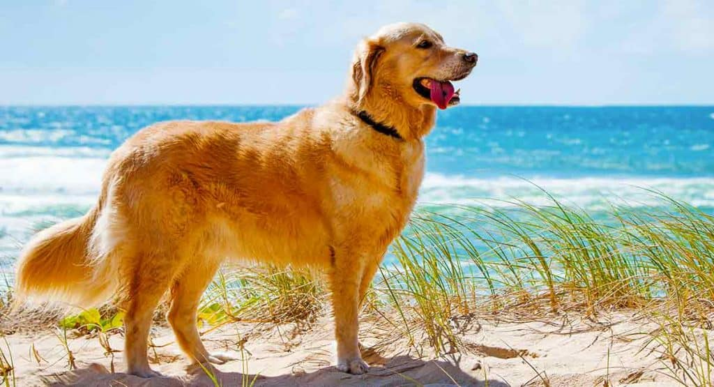 About Golden Retriever