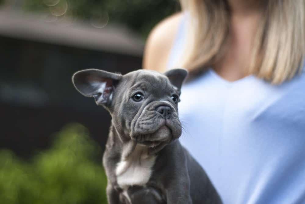 French Bulldog Size