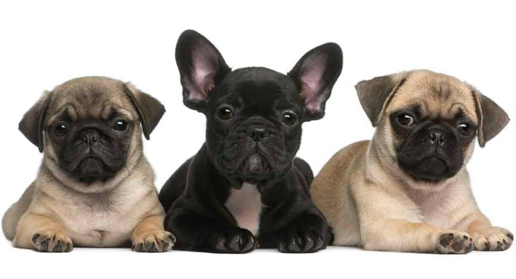 French Bulldog with dogs