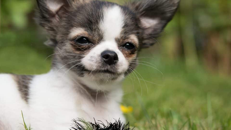 about Chihuahua