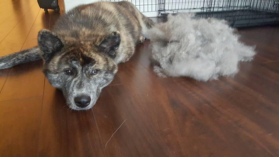 akita grooming