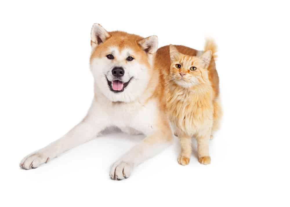 akita with cats
