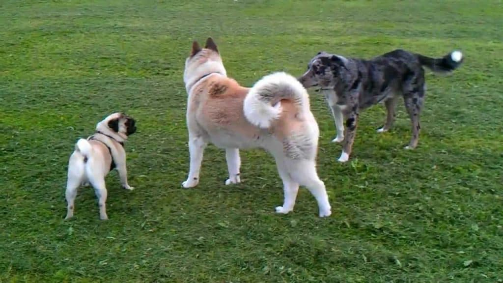 akita with other dogs