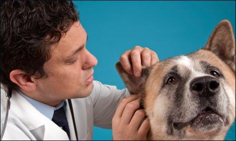akita with vet