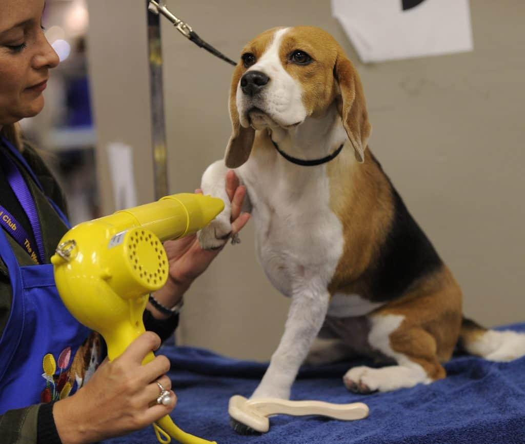 beagle grooming