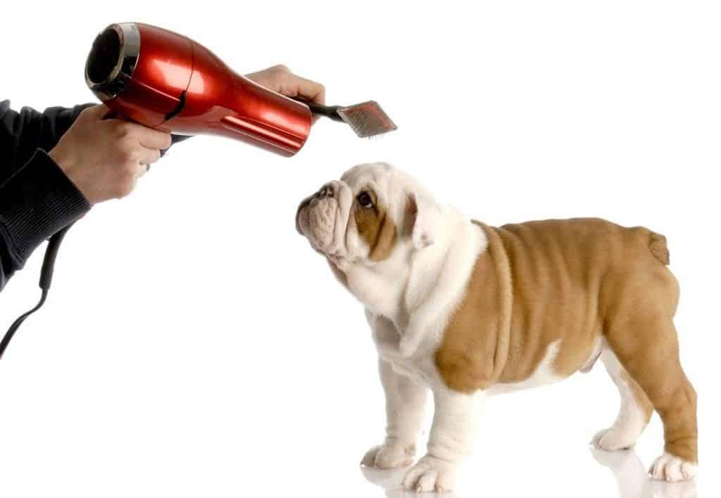 bulldog grooming