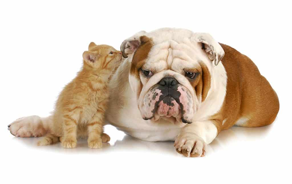 bulldog with cats