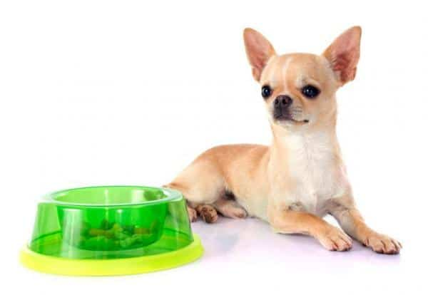 chihuahua eating food