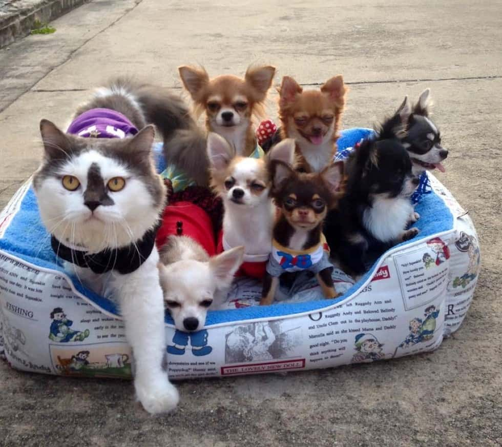 chihuahua with cats