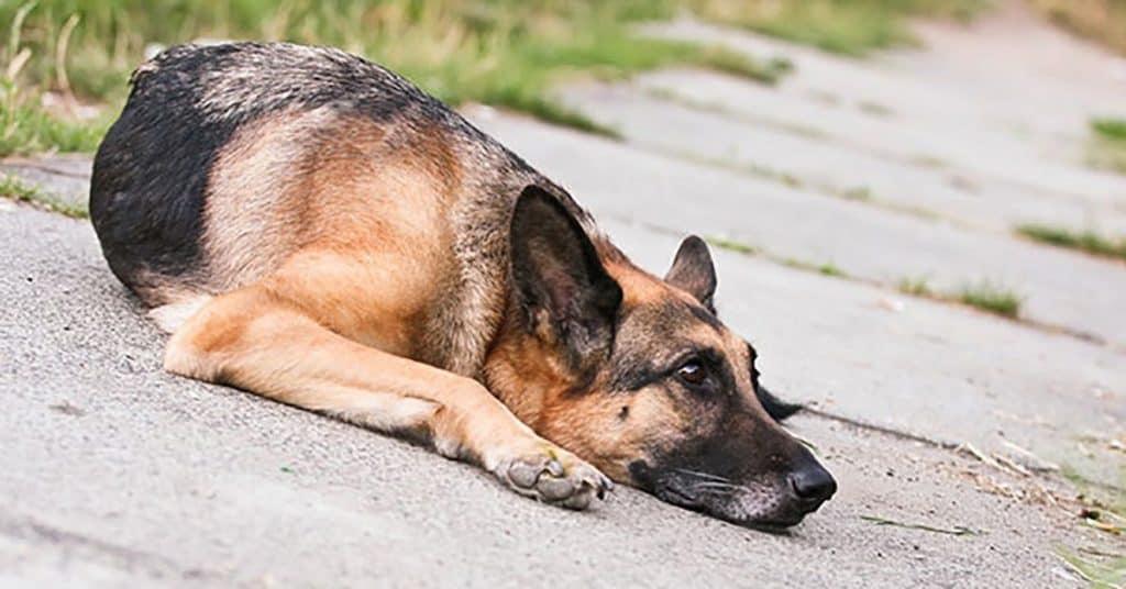 german shepherd sick