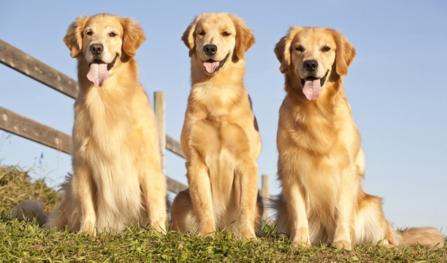 golden retriever with dogs
