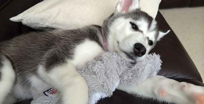 husky sick