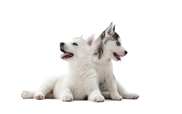 husky size