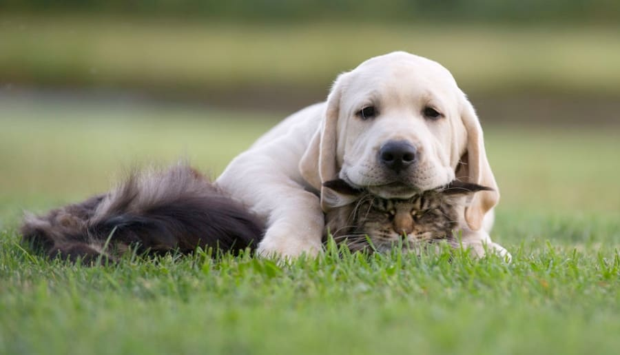 labrador with cats