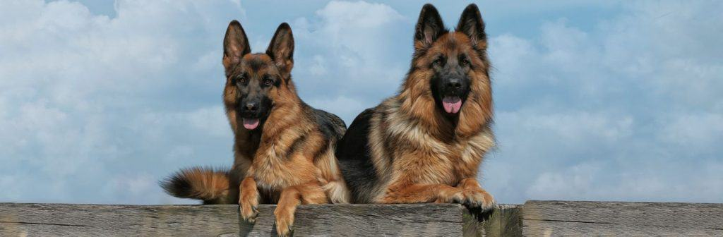 preferred dog breeds in the United States of America