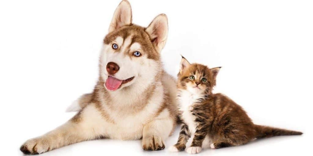 siberian husky with cats