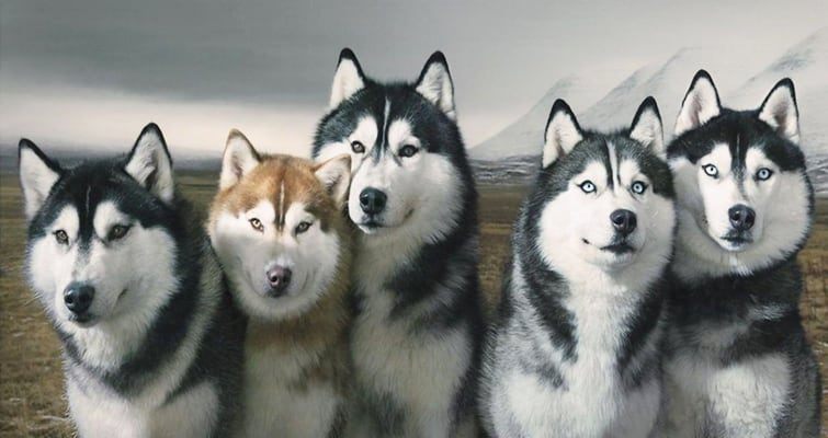 siberian husky with dogs