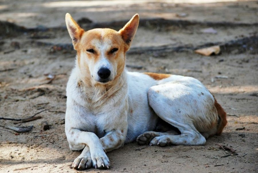 Indian Pariah Dog