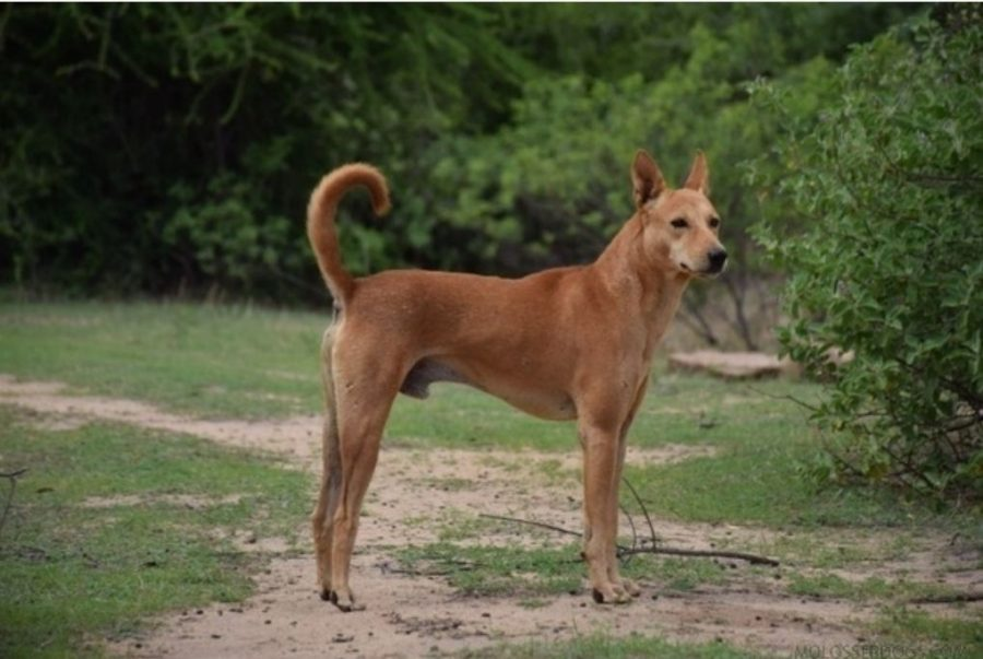 indie dog