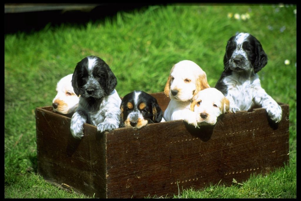 About Cocker Spaniels