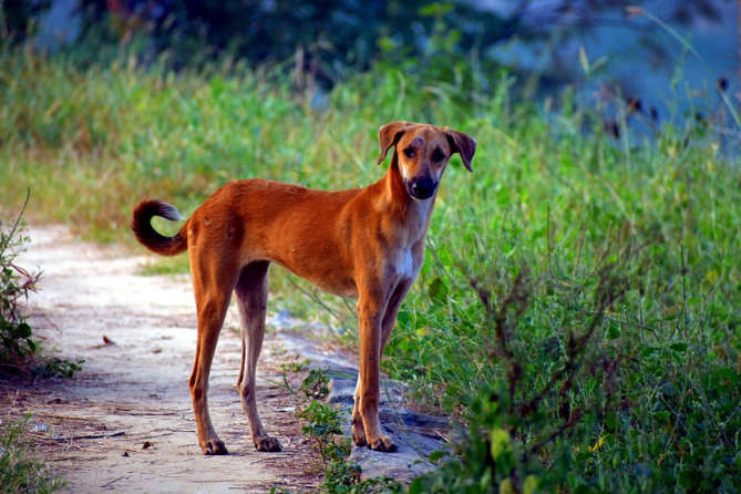 About Indian Pariah Dog