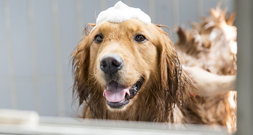 How To Bathe A Dog With Fleas
