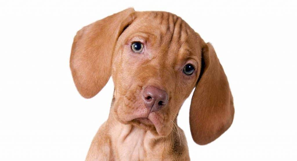 Hungary dog