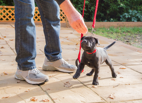 Leash Training For Dogs and Puppies