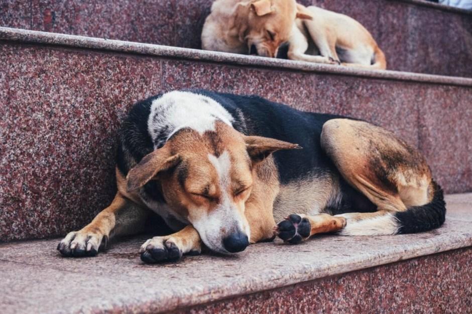 Pariah Dog Puppy