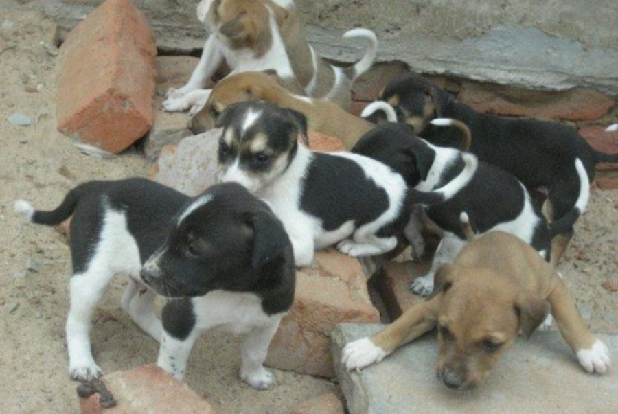 Indian Pariah Dog puppies