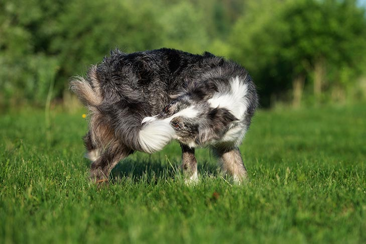 Reasons For Dogs Chasing Their Tails