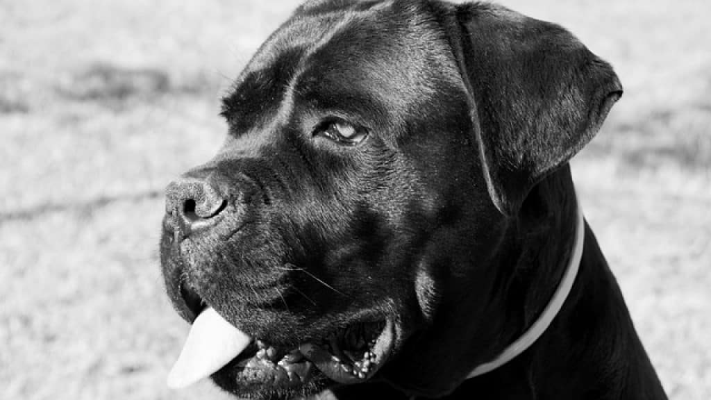 Where Cane Corso Came From