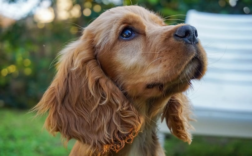 Where Cocker Spaniel Came From
