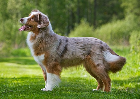 Where Miniature American Shepherd Came From